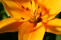 Happy In the Sun. Blooming lily.  Photo taken in July, 2006 Stock Photos