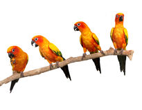 Happy Sun Conure Parrots on a Perch on White Backg Royalty Free Stock Photos