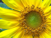 Happy yellow Sunflower. A close up of a sunflower in full bloom stock photos