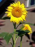 Happy Sunflower Royalty Free Stock Photos