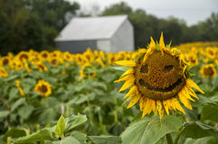 Happy sunflower field and barn Royalty Free Stock Photography