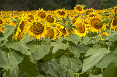 Happy sunflower in field of sunflowers Royalty Free Stock Photography