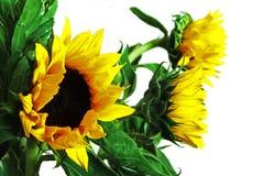 Happy sunflowers Stock Photos