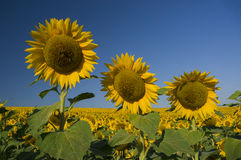 Happy sunflowers Stock Photos