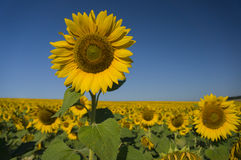 Happy sunflowers Royalty Free Stock Image