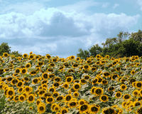 Happy sunflowers with a huge bunch all having a smiley face. Every sunflower shows a happy face in this field of beauty under a pretty blue cloudy sky Stock Photography