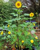 Happy sunflowers photographed in Bloemfontein, South Africa