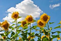 Happy Sunflowers royalty free stock photos
