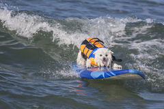 Happy Surfing Dog. Dog surfing and looking happy Royalty Free Stock Photography