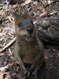 Happy Swamp Wallaby, Australia Stock Image
