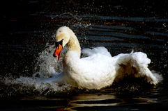 Happy swan. White swan on the black Royalty Free Stock Image