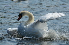Happy swan Royalty Free Stock Photography