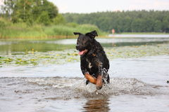 Happy swiss mountain dog crossbreed running in the water Royalty Free Stock Photography