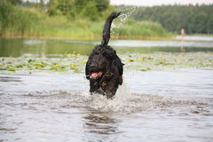 Happy swiss mountain dog crossbreed running in the water Royalty Free Stock Photos