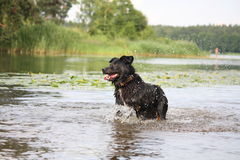 Happy swiss mountain dog crossbreed running in the water Stock Images