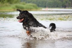 Happy swiss mountain dog crossbreed running in the water Stock Photo