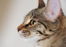 Happy tabby cat in profile, close-up portrait Stock Image