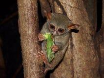 Sulawesi, Indonesia: Tarsier Eating Grasshopper stock image