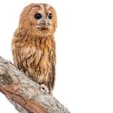 Happy tawny owl Strix aluco over white background. Tawny owl Strix aluco isolated on white background stock images