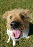 Happy Terrier. A brown headed jack russel photographed with a fisheye thens to exaggerate perspective stock images