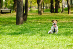 Happy terrier dog sitting on grass at spring park. Jack Russell Terrier having rest at a shadow Royalty Free Stock Images
