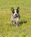 Happy Texas Heeler puppy running towards viewer Royalty Free Stock Photography