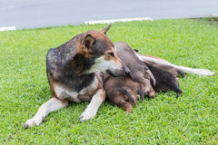 Happy thai dog feeding her puppies. Stock Images