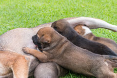Happy thai dog feeding her puppies. Royalty Free Stock Photo