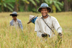 Happy thai farmer. Harvesting rice with family Stock Image