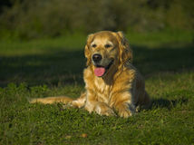 Happy And Thirsty Golden Retriever. Beautiful but thirsty golden retriever with crawled tongue lies on the grass Stock Photo