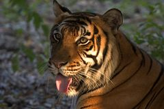 Happy tiger. Tiger at sunrise Stock Photography