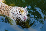 Happy Tiger in zoo Stock Images