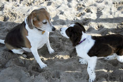 Happy to meet you. 2 dogs on the beach Royalty Free Stock Photography