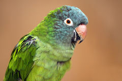 Happy To See You. Closeup of a colorful parrot staring at the camera Stock Images