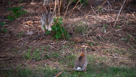 Happy to see you  - Jumping hares. Stock Photography