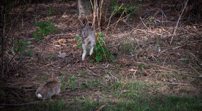 Happy to see you  - Jumping hares. Royalty Free Stock Images