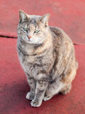 Happy Tortoiseshell Tabby Cat Sitting on Red Concrete Royalty Free Stock Photography