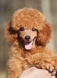Happy Toy poodle puppy portrait Stock Photos