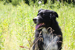 Aussie in summer meadow Royalty Free Stock Photography