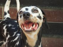 A happy tricolored Dalmatian dog stock image