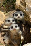 Happy trio of meercat-babys. Happy trio of lovely meercat-babys royalty free stock images