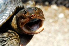 Happy turtle. Turtle is all smiles for a helping hand back to the water Stock Photo