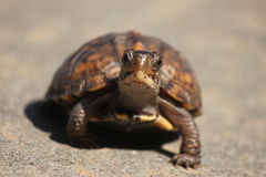 Happy turtle Royalty Free Stock Photo