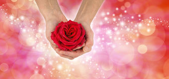 Happy Valentine`s Day Red Rose Banner Stock Photo