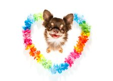 Happy valentines dog. Chihuahua dog in love for happy valentines day with rainbow  flower chain in heart shape  , looking up in wide angle Stock Photos