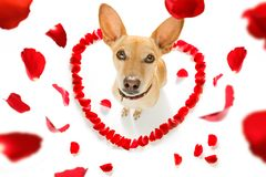 Happy valentines dog. Chihuahua podenco dog in love for happy valentines day with petals and rose flower , looking up in wide angle Royalty Free Stock Photos