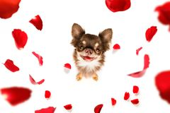 Happy valentines dog. Dog in love for happy valentines day with petals and rose flower , looking up in wide angle Stock Image
