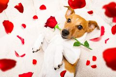 Happy valentines dog Stock Photography