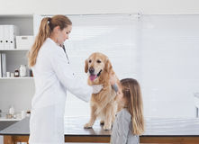 Happy vet checking a labrador Stock Photo