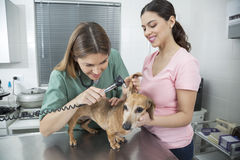 Happy Vet Examining Dachshund's Ear With Otoscope By Woman Royalty Free Stock Photography